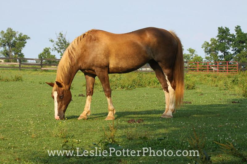 Chestnut Horse Grazing in Pasture