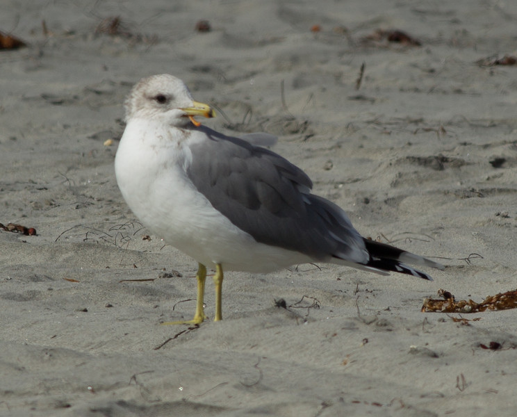 California Gull  Oceanside 2012 11 07 (2 of 3).CR2