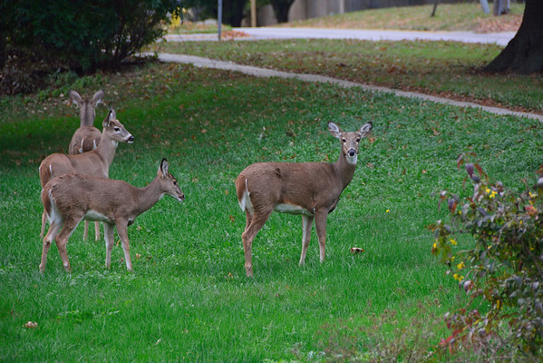 Four Deer in Lenexa, Ks near 79th St. 10.30.2016
