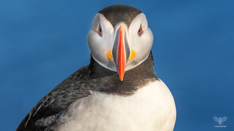 034 Puffin Headon 16x9.jpg