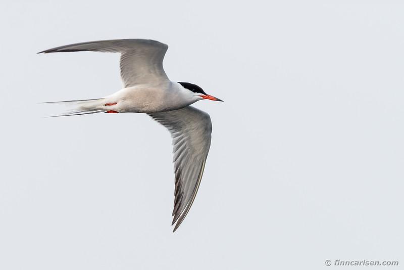 Fjordterne (Sterna hirundo - Common tern)