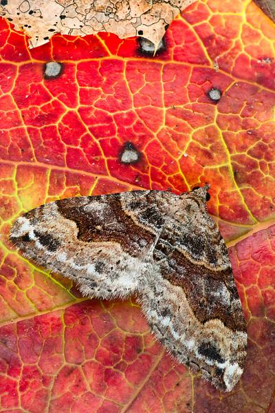 Western Red Twin-spot Moth