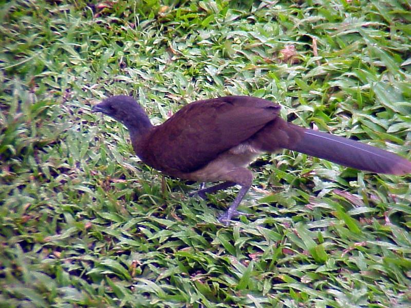 Gray-headed Chachalaca at Rancho Naturalista Costa Rica 2-12-03 (50898135)