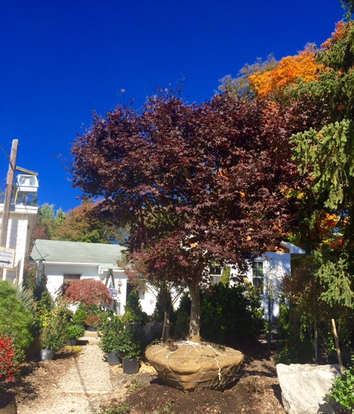 "Acer palmatum 'Bloodgood' 5"""