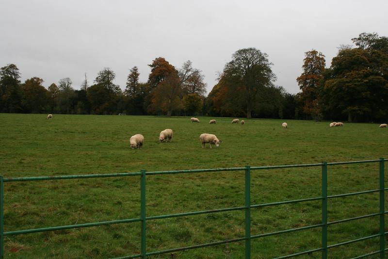Alresford sheep.jpeg