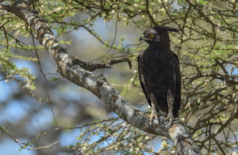 Long-crested-eagle.jpg