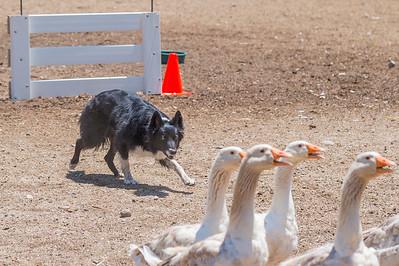 Course A Geese