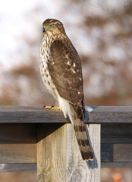 coopers hawk salisbury 2020 4.jpg