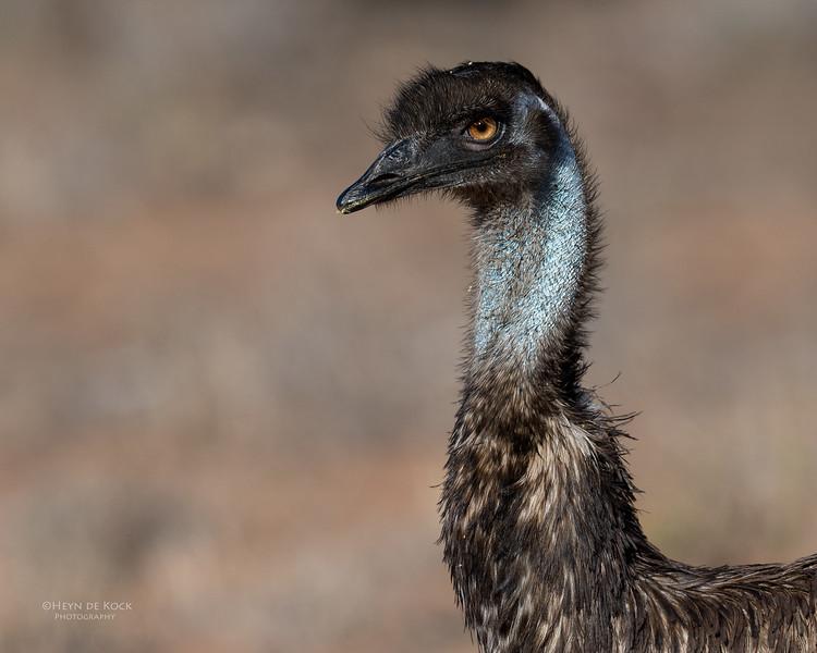 Emu, Bowra, Cunnamulla, QLD, Aus, Sept 2017-1.jpg