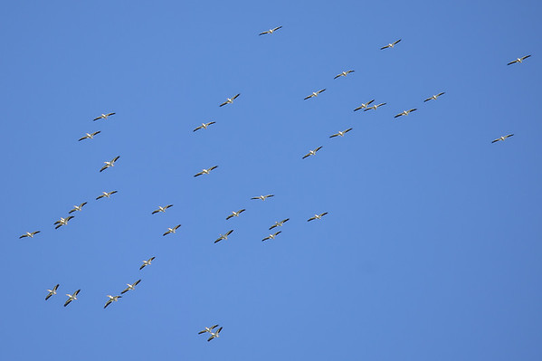 6 2013 Jun 30 American White Pelicans*