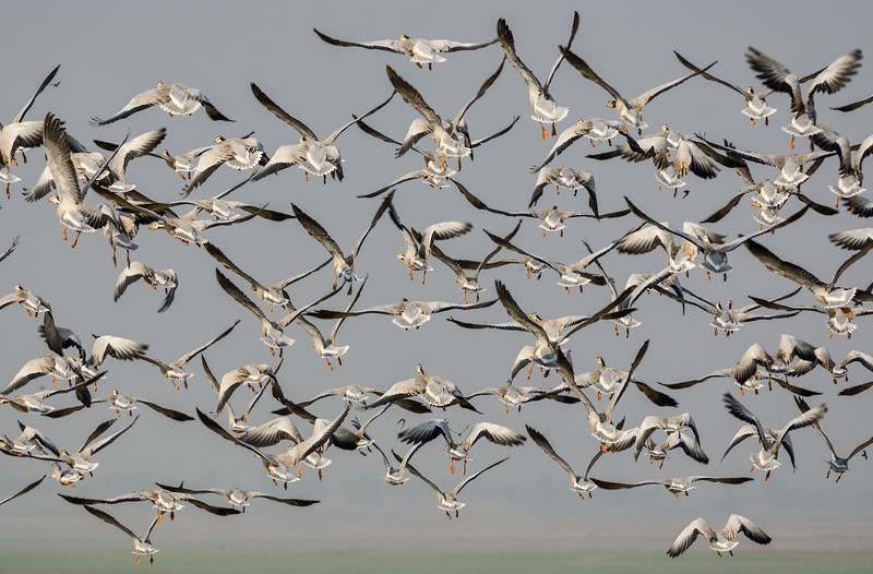 Bar-headed-geese-flock-flight-2.jpg