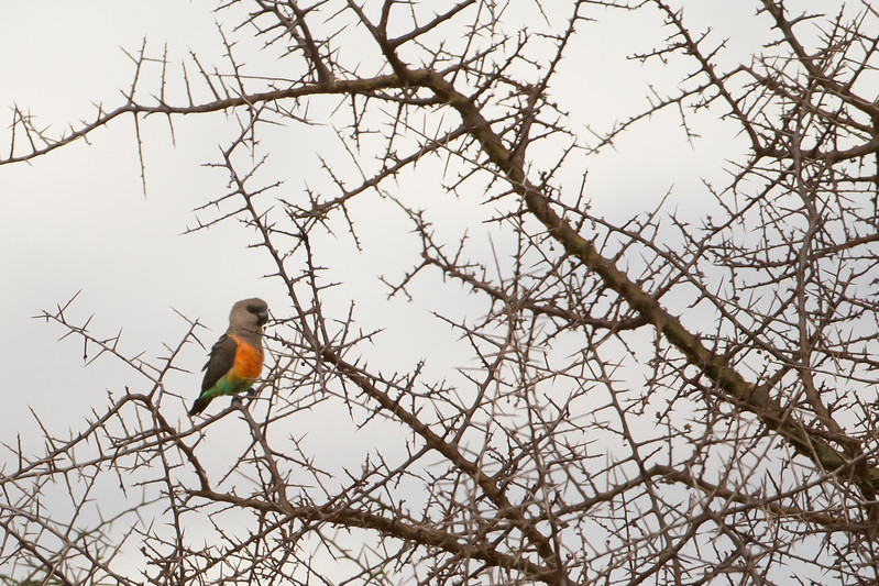 African Orange-bellied Parrot / Red-bellied Parrot - Record - Tarangire National Park, Tanzania