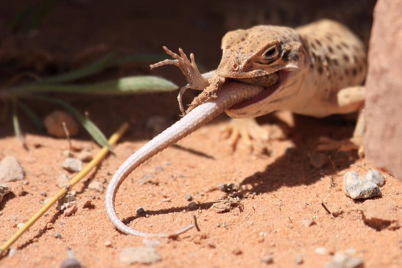 Lizard0006.JPG