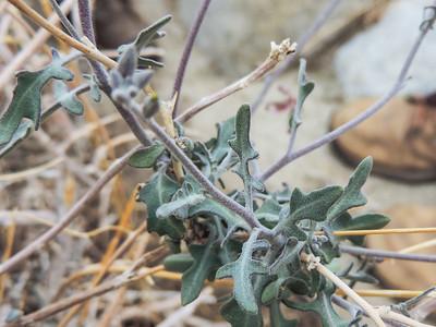 Coulter's Lyrepod (Lyrocarpa coulteri)