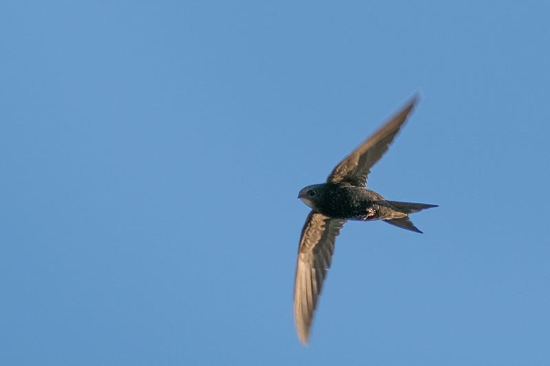 jerzyk   common swift   apus apus