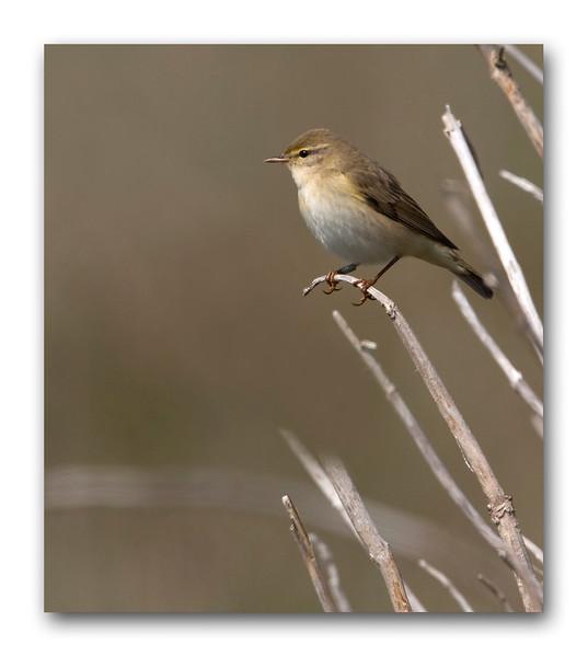 Wood Warbler.jpg