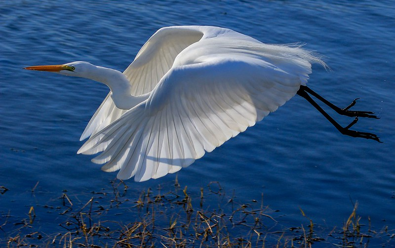 Great Egret on first leg of Shoveler Pond.