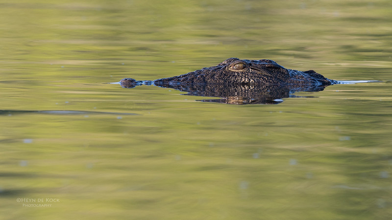 Nile Crocodile, Chobe River, NAM, Oct 2016-5.jpg