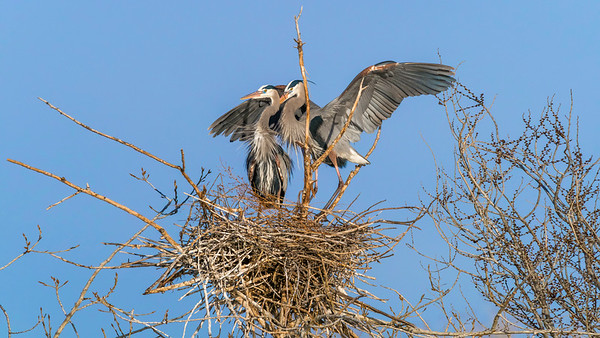 2018 Great Blue Herons (E-M1ii)