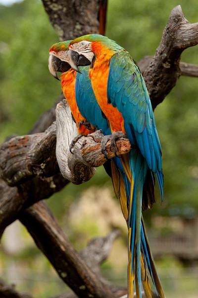 Macaw Twins!