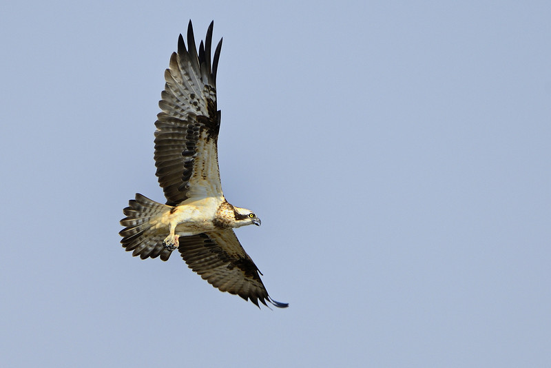 Osprey-flight.jpg