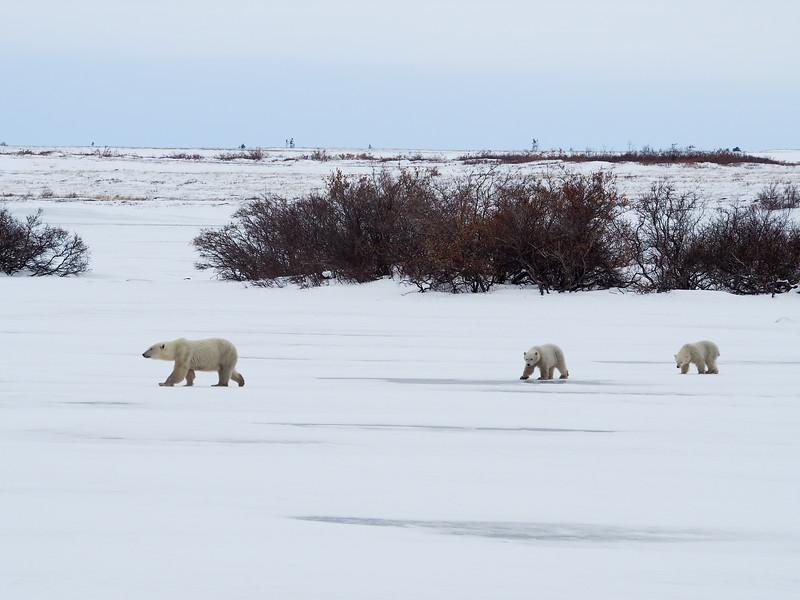 Mother polar bear and twin cubs