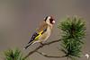 Golden Light Goldfinch