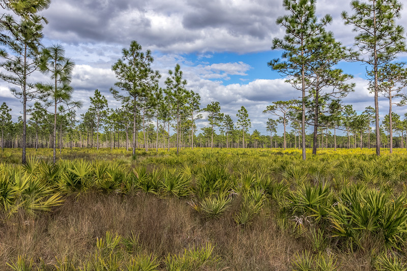 Pine flatwoods at Hal Scott Preserve