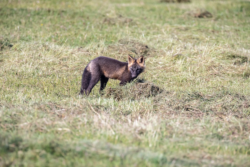 Fox at Musk Ox farm