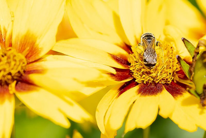 Pollen Bee-04587.jpg