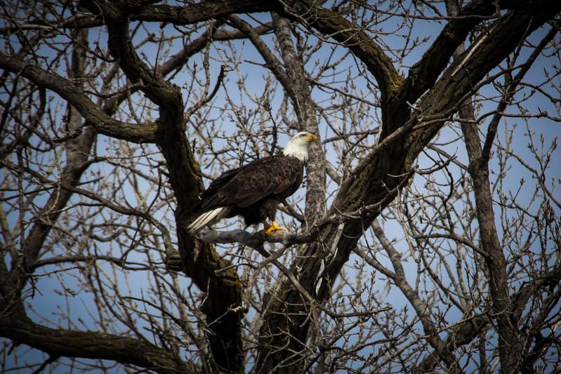 Eagle sitting-7042.jpg