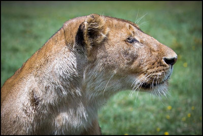 Lioness, Ngorongoro Conservation Area