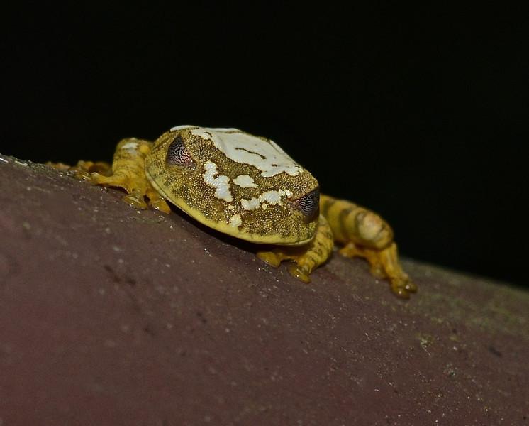 Treefrog, species unknown