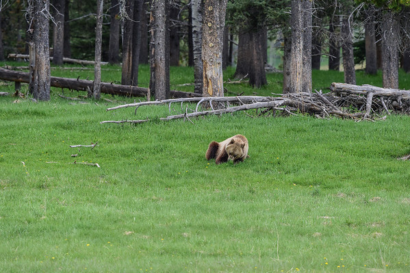 6-12-14 Grizzly Bear