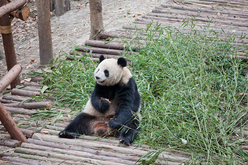 Panda_sitting_Chengdu_Sichuan_China2.jpg