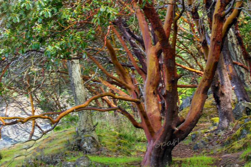 The Madrone