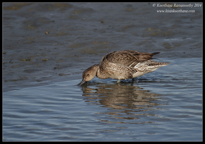 Blue-winged Teal Duck, Robb Field, San Diego River, San Diego County, California, February 2014