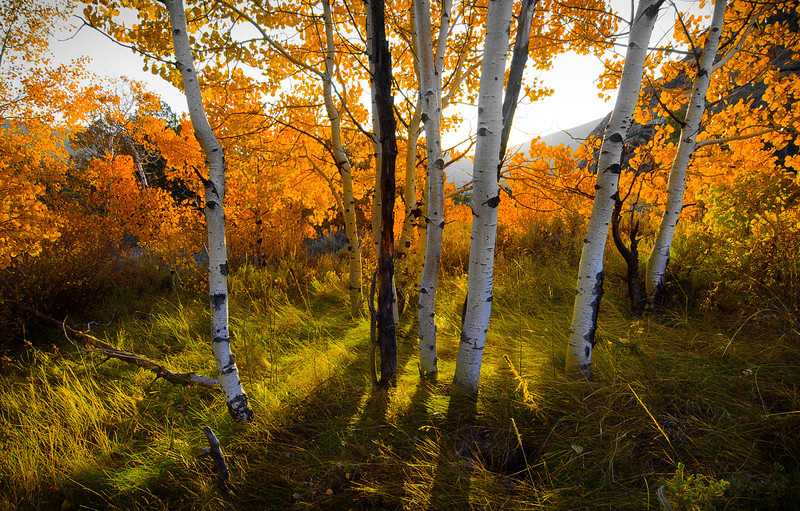 aspen forest copy.jpg