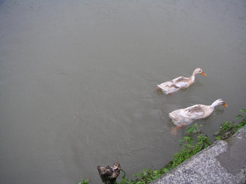 11 - Ducks.jpg