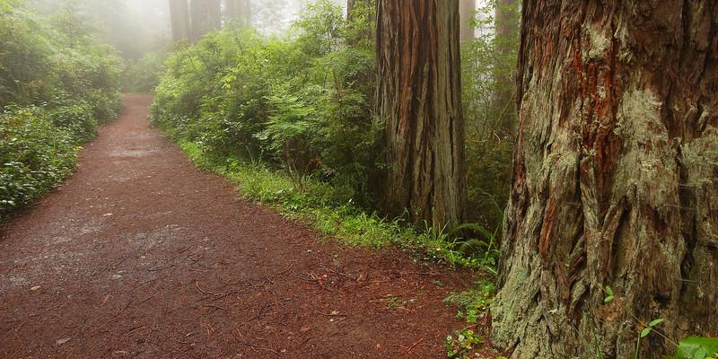 Pathway in Morning Fog Redwood National Park California