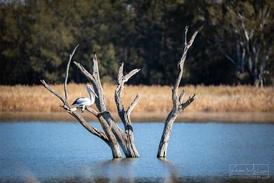 Lake Wyangan Pelican