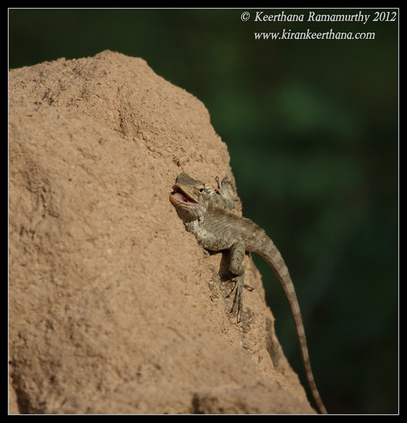 Variable Agama relishing the spider it caught, Chamundi Hills, Mysore, Karnataka, India, May 2012