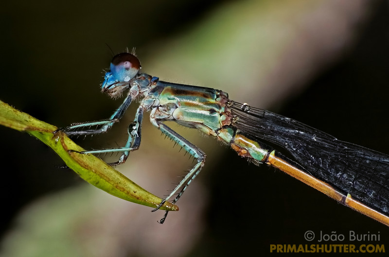 Blue eyed damselfy in Intervales State Park, Brazil. South-east atlantic forest reserve, UNESCO World Heritage Site.
