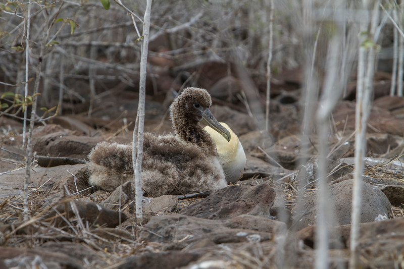 Albatross Chick on Floreana.jpg