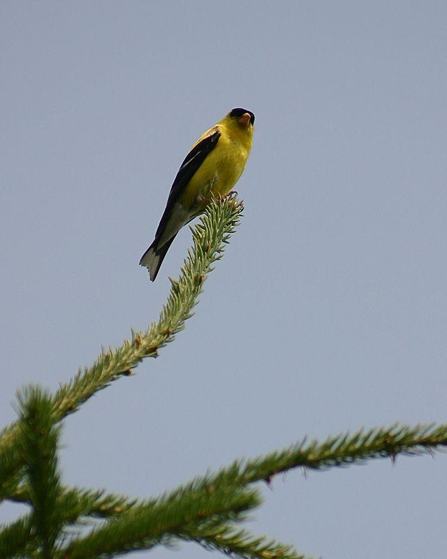American Goldfinch, Col. Samuel Smith Park