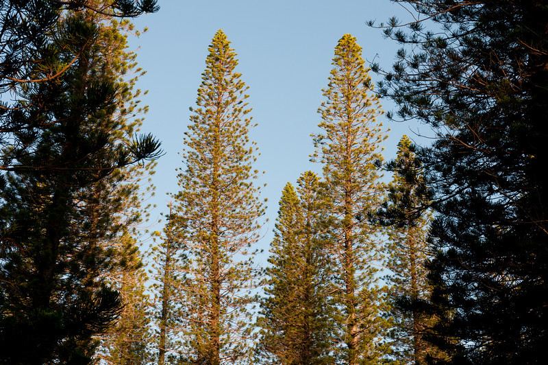 Pine trees in Lanai, Hawaii
