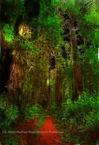 Redwood Forest, Northern California