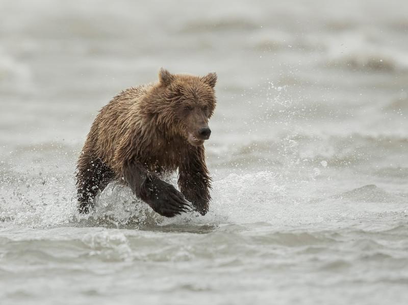 Coastal Brown Bear (Ursus arctos) cub running in Cook Inlet, Silver Salmon Creek, Lake Clark National Park and Preserve, Alaska