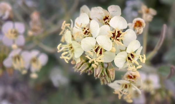 Borrego Spring Bloom