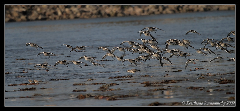 Mixed flock of black-bellied plovers and ruddy turnstones, Robb Field, San Diego River, San Diego County, California, September 2009